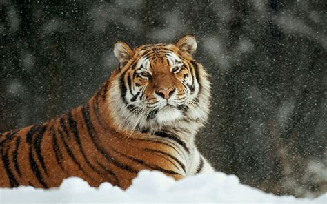 hd wallpaper for android tiger white siberian tiger wallpapers wallpaper cave