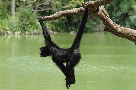 Primates Images Swinging Monkey Hd Wallpaper And