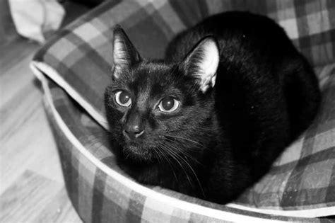 imagenes en negro de gatos king cat mn curiosidades