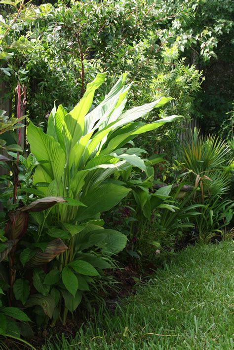 Garden Of Turmeric The Rainforest Garden How To Grow Turmeric