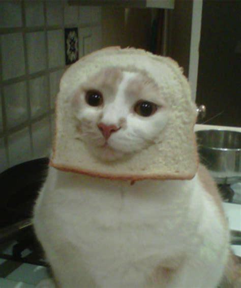 Cat Breading Meme - image 243054 cat breading know your meme