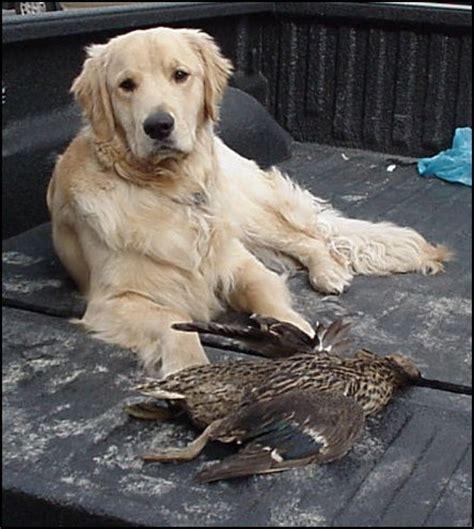 golden retriever duck chesapeake golden retriever club member submitted photos