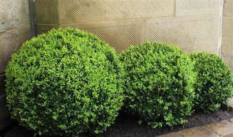 english box topiary ball  pot   plants