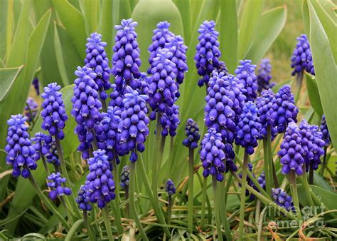 Home Decor Purple by Grape Hyacinth Photograph By Carol Groenen