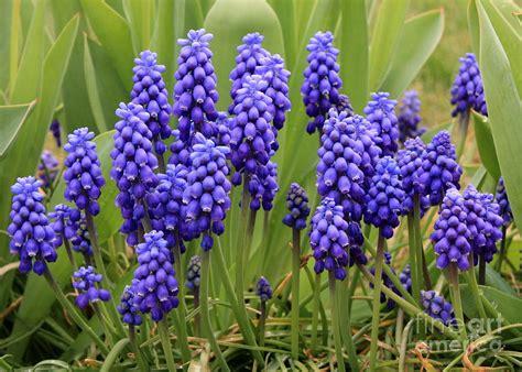 grape hyacinth photograph by carol groenen