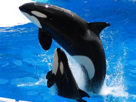 mom and baby whale on dive sea animals coloring page mother and baby killer whale close up at sea world in
