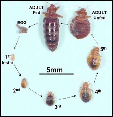 bed bug registry nc bed bug life cycle national bed bug registry database and maps