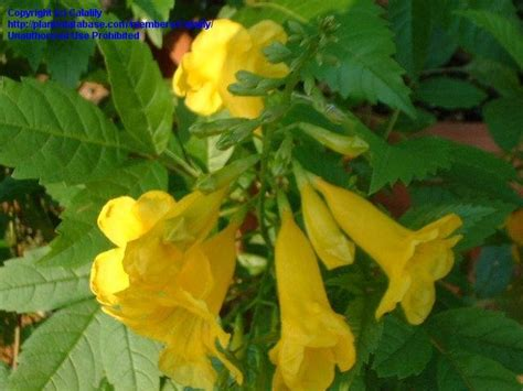 yellow trumpet flower shrub 28 images dm color express 187 tecoma stansdm color express