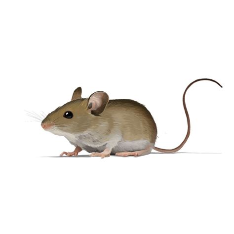 mouse house house mouse see pest and lawn solutions