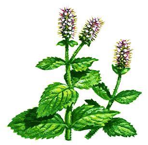 mint images mint plant clipart
