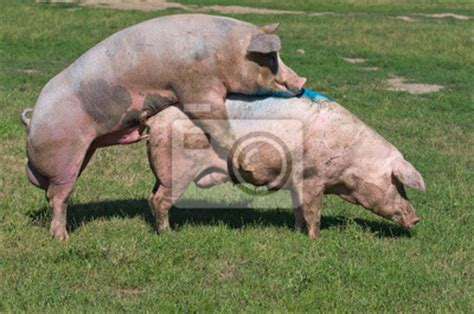 Farm Animal Wall Stickers pigs mating on farm copulation wall mural pig wallpaper