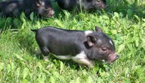 pigs for sale ads free classifieds