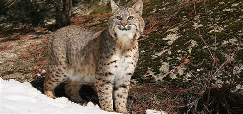 bobcat sounds  ringtone downloads animal ringtones