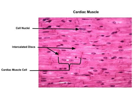 longitudinal section of skeletal muscle organization of muscle tissue