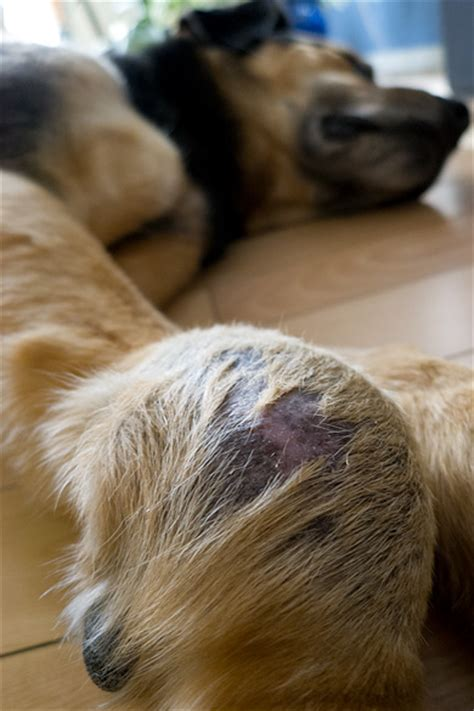 soft tissue sarcoma in dogs soft tissue sarcoma in dogs www pixshark images galleries with a bite