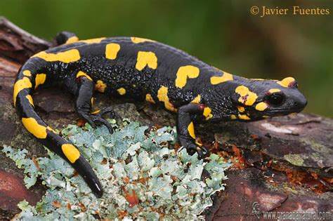 la salamandra fauna en granada natural salamandra salamandra morenica