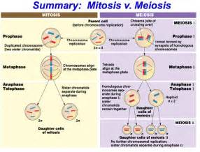 gallery for gt meiosis concept map sexual life cycle