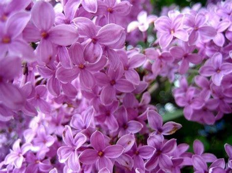 fiori colore viola fiori lill 224 fiori delle piante