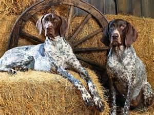 bluetick coonhound chocolate lab mix breeders of braco german short hair in spain pets