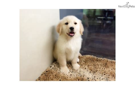 golden retriever puppies for sale in new york golden retriever puppy for sale near new york city new