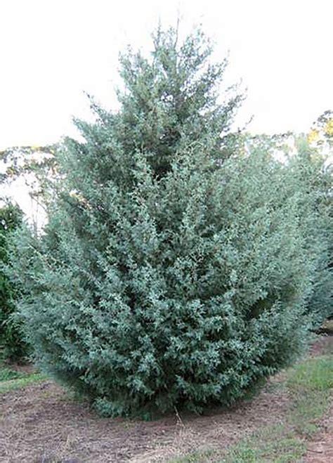 decorated blue arizona cypress blue arizona cypress tree tlc garden centers