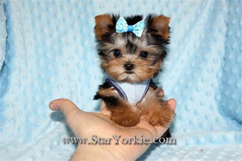 breeders of teacup yorkies teacup yorkie puppies sale