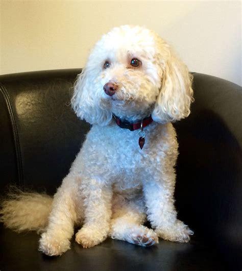 bichon frise poodle lifespan tigger