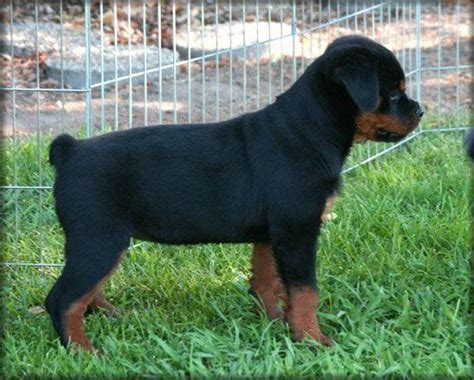 rottweiler american vs german gallery for gt german rottweiler vs american rottweiler puppies
