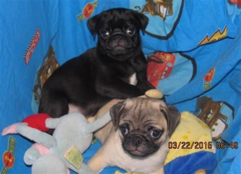 history of pugs and lions pug breed