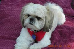 how to if a shih tzu is purebred shih tzu breed assistedlivingcares