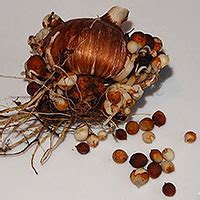 seasonal gardening propagating bulbs and tubers