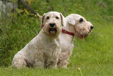 westie breed sealyham terrier breed guide learn about the sealyham terrier