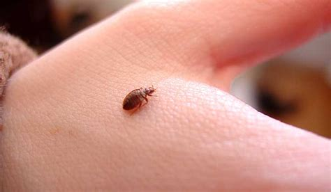 what is good for bed bugs no fear about insects with top 15 home remedies for bed