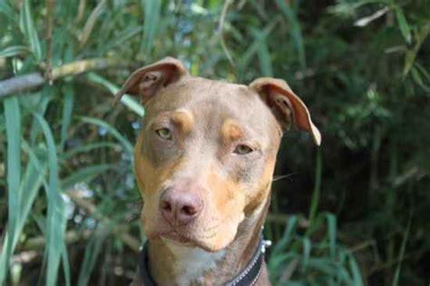 doberman pitbull puppies doberman pinscher american pit bull terrier mix breeds picture