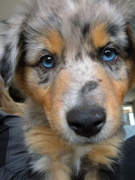 blue merle aussie puppy 25 best ideas about blue merle on baby dogs mini aussie and bull