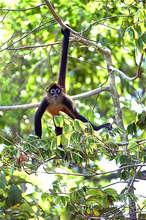 why do monkeys swing on trees spider monkeys animal collection spider monkey for