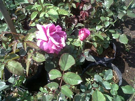Pupuk Untuk Bunga Mawar jual tanaman bunga mawar ungu tanamtanam