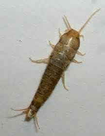 house pest silverfish what s that bug