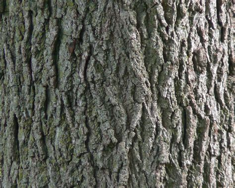 how to a to bark file black walnut bark detail jpg
