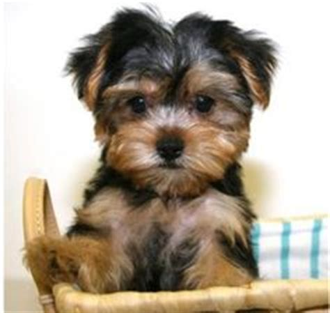shih tzu yorkie mix hypoallergenic shorkie schnauzer and yorkie mix this is my precious baby cooper