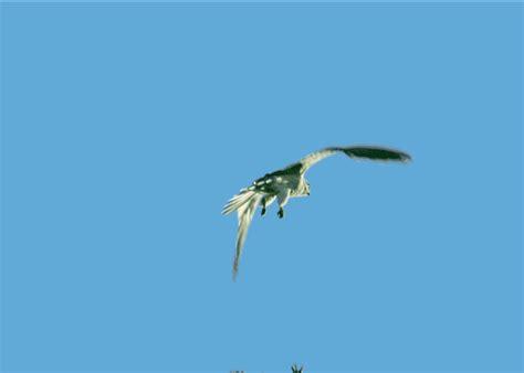 imagenes de karma bird fly gif flying bird images bird in flight animated gif using