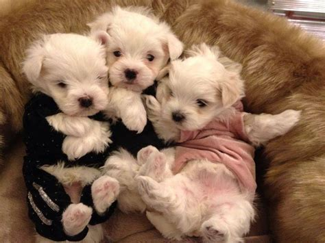 baby maltese puppies baby maltese breeds picture
