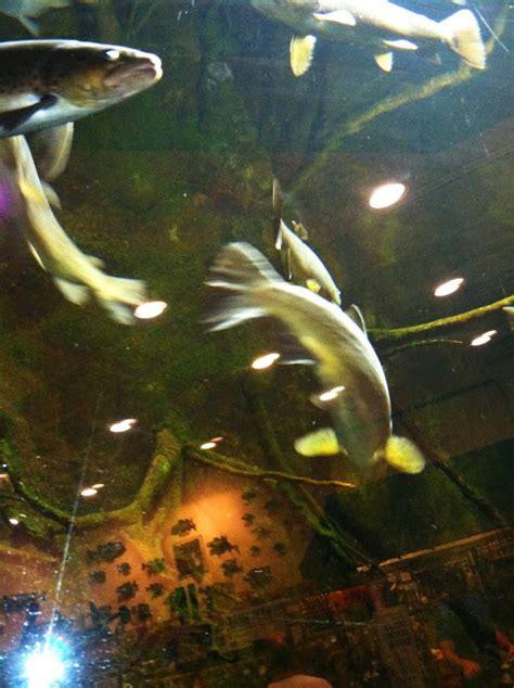 cabelas postfalls home waters a fly fishing the road trip aquarium trout