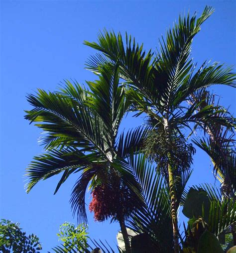 Areca Palm ptychosperma elegans of the arecaceae family