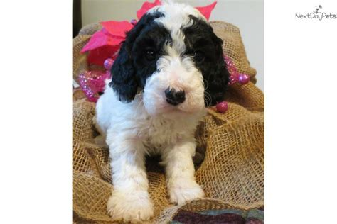 mini goldendoodles utah goldendoodle puppy for sale near provo orem utah