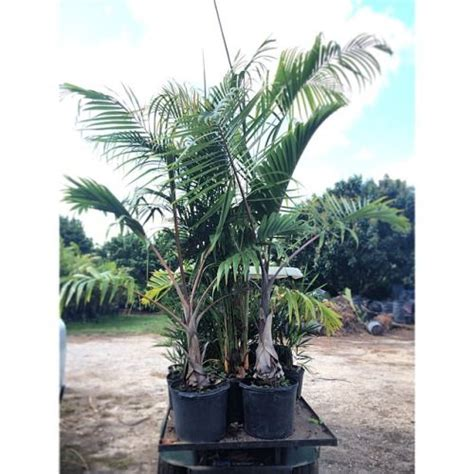 Wholesale Real Trees - 17 best images about wholesale plant nursery supplies and