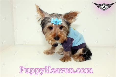 yorkie breeders los angeles aldo teacup yorkie puppy in los angeles 91304