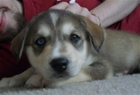 husky lab mix puppies siberian retriever breed information and picturess