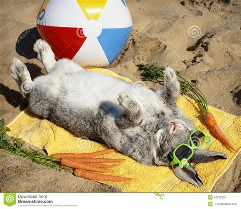 Some On The Go With The Rabbit Travel Vibe by Bunny Rabbit Relaxing On The Sand Stock Photo Image