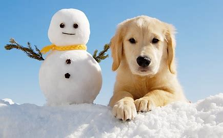 caring for a golden retriever winter golden retriever care tips golden retriever experts